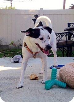 Papillon Mix Dog for adoption in La Mirada, California - Stella