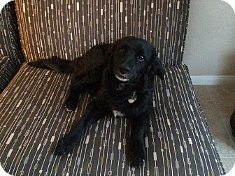 Border Collie Mix Puppy for adoption in Las Vegas, Nevada - Oso
