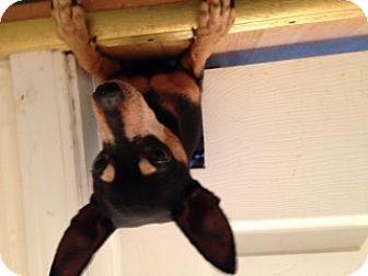 Miniature Pinscher Mix Dog for adoption in Traverse City, Michigan - Jake