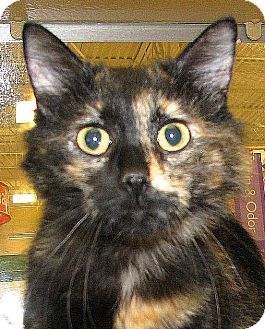 Domestic Shorthair Cat for adoption in Tulsa, Oklahoma - Florin