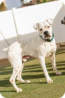 Boxer Dog for adoption in Hesperia, California - Dillon