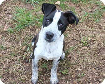Australian Cattle Dog/Boxer Mix Puppy for adoption in Goodlettsville, Tennessee - Oreo