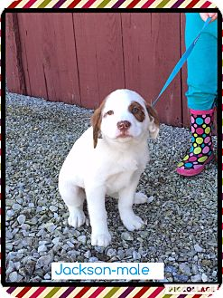 Golden Retriever/Australian Shepherd Mix Puppy for adoption in Spring Valley, New York - Jackson (Pom-Dc)