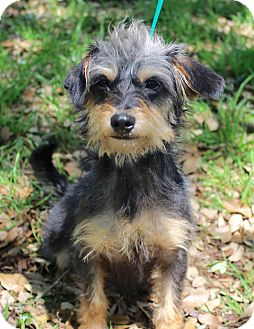 Norwich Terrier/Terrier (Unknown Type, Small) Mix Dog for adoption in Jacksonville, Florida - FELIX