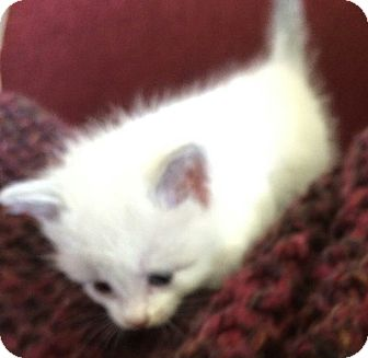 Colorpoint Shorthair Kitten for adoption in Ypsilanti, Michigan - Rhaegal