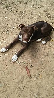 Pit Bull Terrier Mix Dog for adoption in Loganville, Georgia - Barger