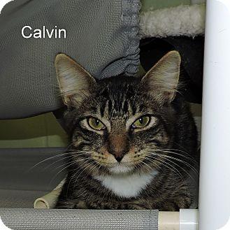 Domestic Mediumhair Kitten for adoption in Slidell, Louisiana - Calvin