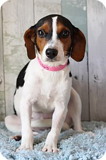 Beagle Mix Puppy for adoption in Waldorf, Maryland - Dixie Cup