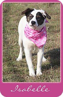 Australian Shepherd/Catahoula Leopard Dog Mix Dog for adoption in Hillsboro, Texas - Isabelle