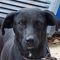 Labrador Retriever Mix Dog for adoption in Conway, Arkansas - Pepper