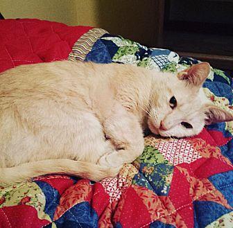 Domestic Shorthair Cat for adoption in Parkton, North Carolina - Sandy