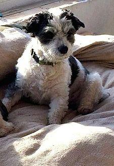 Shih Tzu/Bichon Frise Mix Dog for adoption in Homer Glen, Illinois - Big Boy