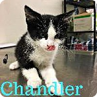 Domestic Shorthair Kitten for adoption in Marion, Ohio - Chandler