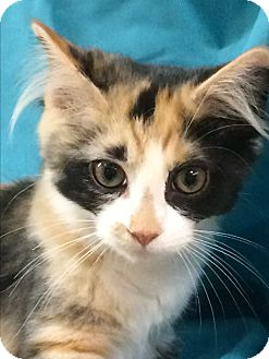 Domestic Mediumhair Kitten for adoption in Jackson, New Jersey - Lucy