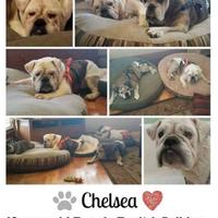 Adopt A Pet :: Chelsea - Everett, WA