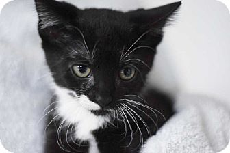 Domestic Shorthair Kitten for adoption in Woodstock, Georgia - Twilight