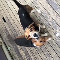 Beagle Mix Dog for adoption in Cincinnati, Ohio - Romeo