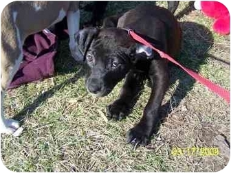Labrador Retriever/American Pit Bull Terrier Mix Puppy for adoption in Plainfield, Illinois - Rambo