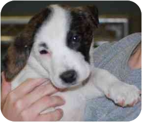 St. Bernard/Great Pyrenees Mix Dog for adoption in Gallatin, Tennessee - Jody