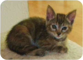 Domestic Shorthair Kitten for adoption in North Highlands, California - Fawna