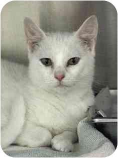 Domestic Shorthair Kitten for adoption in Norwalk, Connecticut - Loretta
