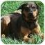 Photo 4 - German Shepherd Dog/Rottweiler Mix Dog for adoption in Latrobe, Pennsylvania - Lena