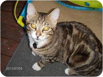 Domestic Shorthair Cat for adoption in Portland, Oregon - Jackson