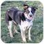 Photo 2 - Australian Cattle Dog/Australian Shepherd Mix Dog for adoption in Sacramento, California - Rockae!