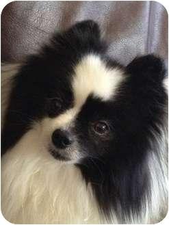 Pomeranian Dog for adoption in Austin, Texas - Tasha