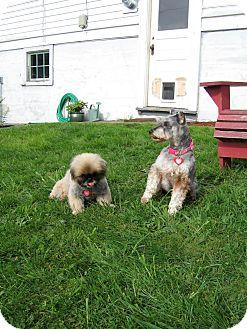 Schnauzer (Miniature) Mix Dog for adoption in Bellingham, Washington - Koa