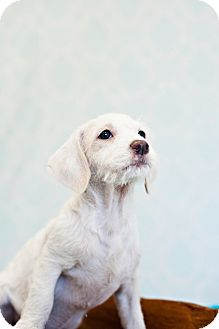 Fox Terrier (Wirehaired) Mix Puppy for adoption in Houston, Texas - Florence