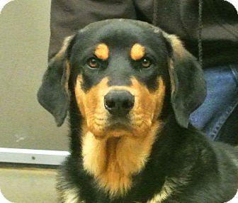 German Shepherd Dog/Rottweiler Mix Dog for adoption in white settlment, Texas - Sampson