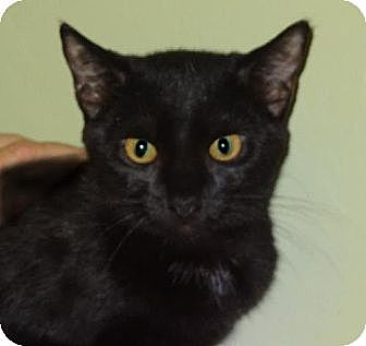 Domestic Shorthair Cat for adoption in Palm City, Florida - Lucerne