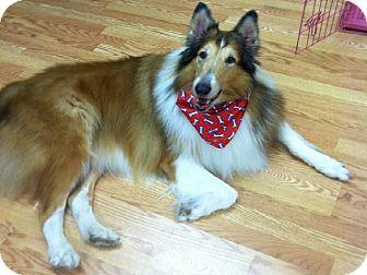 Collie Dog for adoption in Minneapolis, Minnesota - CHARLIE