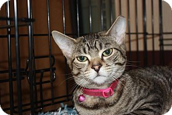 Domestic Shorthair Cat for adoption in Little Falls, New Jersey - Sasha (MP)