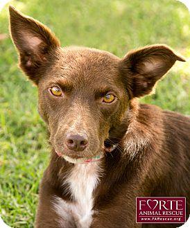 Australian Kelpie/Australian Shepherd Mix Dog for adoption in Marina del Rey, California - Mini