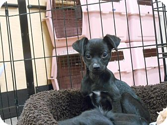 Chihuahua Mix Puppy for adoption in Las Vegas, Nevada - Kevin