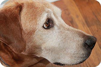 Labrador Retriever/Husky Mix Dog for adoption in Homer, New York - Rose