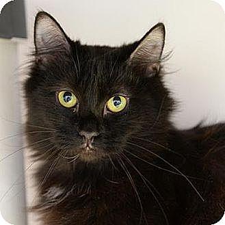 Domestic Longhair Cat for adoption in Denver, Colorado - Tres