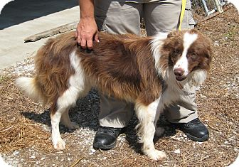 Border Collie Mix Dog for adoption in Florence, Indiana - Sport