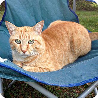 Domestic Shorthair Cat for adoption in Bentonville, Arkansas - Spaz