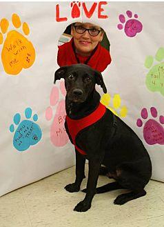 Labrador Retriever/Shepherd (Unknown Type) Mix Dog for adoption in Homer, New York - Blue Bayou