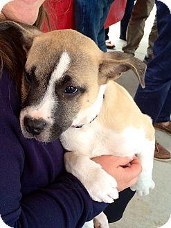 Boxer/American Bulldog Mix Puppy for adoption in Dallas, Texas - Huxley