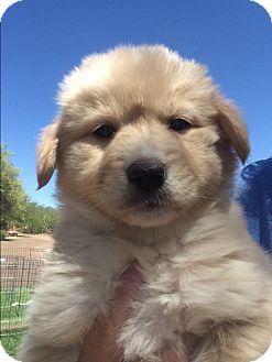 Golden Retriever/Australian Cattle Dog Mix Puppy for adoption in Cave Creek, Arizona - Charli