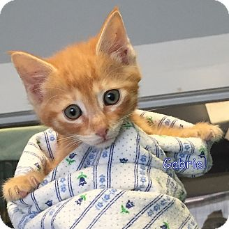 Domestic Shorthair Kitten for adoption in Cliffside Park, New Jersey - GABRIEL