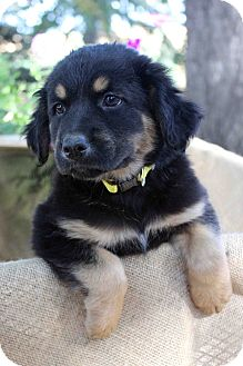 Australian Shepherd/Retriever (Unknown Type) Mix Puppy for adoption in Westminster, Colorado - Davidson