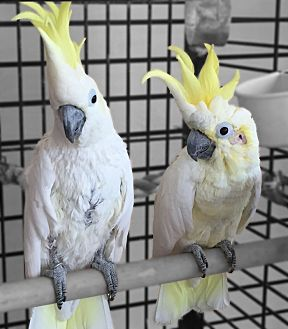 Cockatoo for adoption in Villa Park, Illinois - Hobbs and calvin