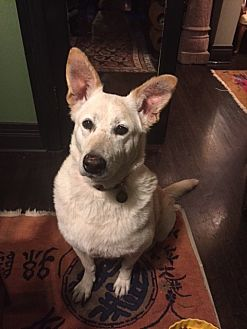 Shepherd (Unknown Type) Mix Dog for adoption in Los Angeles, California - FOXY - COURTESY