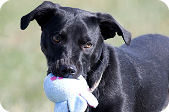 Labrador Retriever/Blue Heeler Mix Dog for adoption in Broken Arrow, Oklahoma - Vader