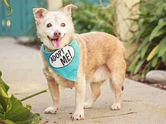 Terrier (Unknown Type, Medium)/Chihuahua Mix Dog for adoption in Pacific Grove, California - Bailey Terrier